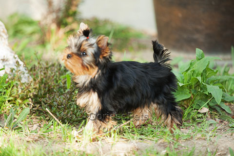 Show Quality Yorkie Puppy - Gorjesspets.com