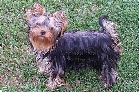 Teacup Yorkie Puppy - gorjesspets.com