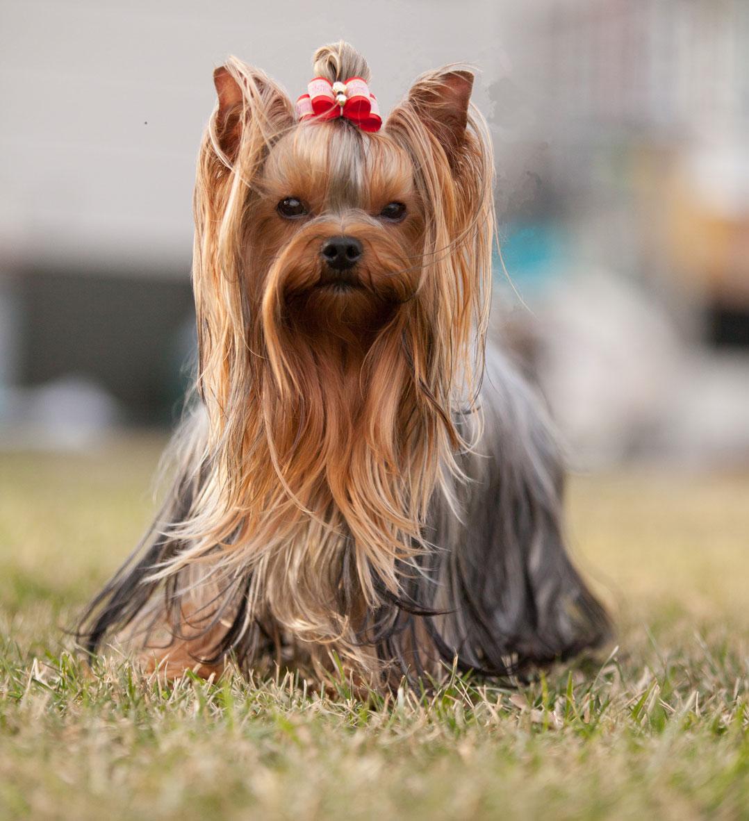 Gracie - GorjessPets Yorkshire Terrier - Gorjesspets.com