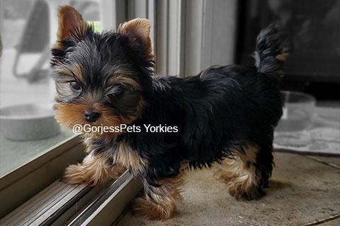 GorjessPets Yorkie Male Puppy - Gorjesspets.com