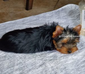GorjessPets Yorkies Female Yorkie
