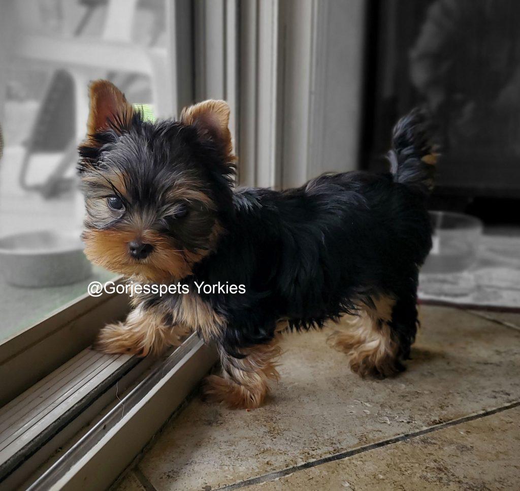 GorjessPets Yorkie Male Puppy