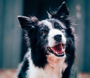 Dog Dental Cleaning - GorjessPets Yorkies