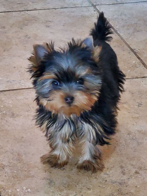 GorjessPets Small Female Yorkshire Terrier Puppy