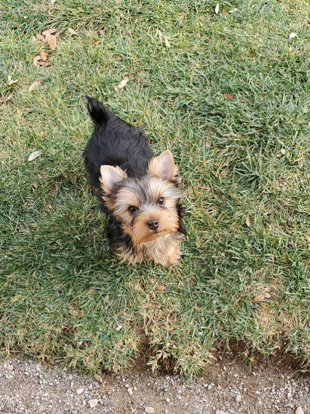 GorjessPets Male Yorkie Puppy