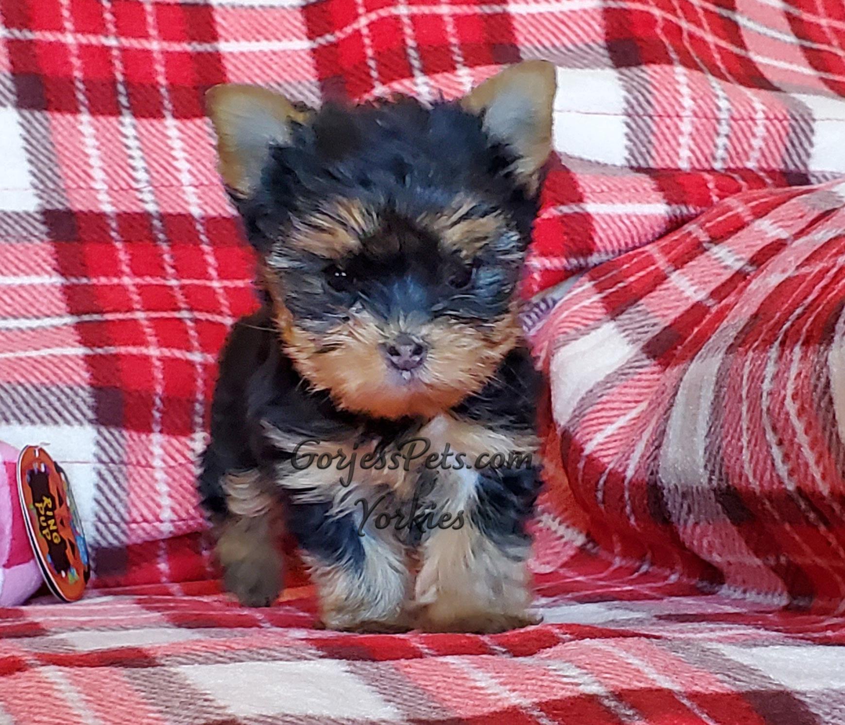 Yorkie Puppy sitting