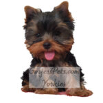 Yorkie Puppy for Sale in Las Vegas