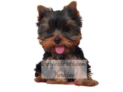 Yorkie Puppy For Sale Las Vegas - GorjessPets.com